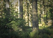 μικρά δέντρα πεύκων Στοκ εικόνα με δικαίωμα ελεύθερης χρήσης