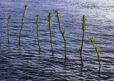 Μικρά δέντρα στο μπλε νερό στοκ εικόνες