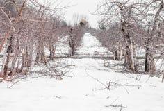 Μικρά δέντρα της Apple κατά τη διάρκεια Wintertime Στοκ εικόνες με δικαίωμα ελεύθερης χρήσης