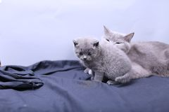 Μικρά γατάκια με τη μητέρα σε ένα μπλε υπόβαθρο Στοκ φωτογραφία με δικαίωμα ελεύθερης χρήσης