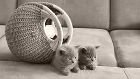 Μικρά γατάκια που βρίσκονται σε έναν καναπέ, εσωτερική τσάντα γυναικών φιλμ μικρού μήκους