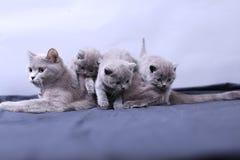 Μικρά γατάκια που παίζουν με τη μητέρα σε ένα μπλε υπόβαθρο Στοκ Εικόνες