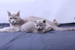 Μικρά γατάκια που παίζουν με τη μητέρα σε ένα μπλε υπόβαθρο Στοκ φωτογραφίες με δικαίωμα ελεύθερης χρήσης