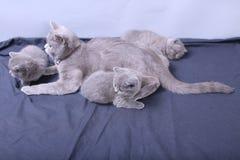 Μικρά γατάκια που παίζουν με τη μητέρα σε ένα μπλε υπόβαθρο Στοκ εικόνες με δικαίωμα ελεύθερης χρήσης