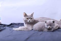 Μικρά γατάκια που παίζουν με τη μητέρα σε ένα μπλε υπόβαθρο Στοκ Φωτογραφία