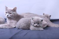 Μικρά γατάκια που παίζουν με τη μητέρα σε ένα μπλε υπόβαθρο Στοκ Εικόνα