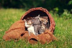 Μικρά γατάκια σε ένα καλάθι Στοκ Εικόνα