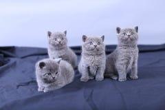 Μικρά γατάκια σε ένα μπλε υπόβαθρο Στοκ Εικόνα