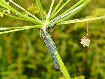 Μικρά γκρίζα aphids σε εγκαταστάσεις Στοκ Εικόνες