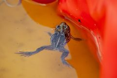 Μικρά επιπλέοντα σώματα φρύνων σκόρδου σε μια λεκάνη νερού των παιδιών στοκ εικόνα