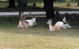 Μικρά ευρωπαϊκά deers σε ένα αγρόκτημα σαφάρι χωρών στοκ φωτογραφίες με δικαίωμα ελεύθερης χρήσης