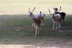 Μικρά ευρωπαϊκά deers σε ένα αγρόκτημα σαφάρι χωρών στοκ φωτογραφία με δικαίωμα ελεύθερης χρήσης