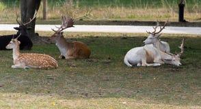 Μικρά ευρωπαϊκά deers σε ένα αγρόκτημα σαφάρι χωρών στοκ εικόνες
