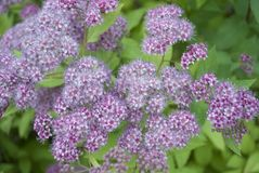 Μικρά θερινά ιώδη λουλούδια Στοκ φωτογραφία με δικαίωμα ελεύθερης χρήσης