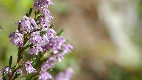 Μικρά ιώδη λουλούδια κίνηση αργή