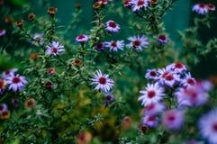 Μικρά ιώδη λουλούδια φθινοπώρου Στοκ φωτογραφίες με δικαίωμα ελεύθερης χρήσης
