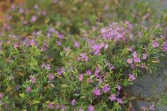 Μικρά ιώδη λουλούδια Στοκ Φωτογραφία