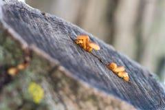 Μικρά κίτρινα καφετιά μανιτάρια που που αυξάνονται σε μια ρωγμή ενός δέντρου Στοκ φωτογραφίες με δικαίωμα ελεύθερης χρήσης