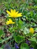Μικρά κίτρινα λουλούδια διασκέδασης στην πράσινη χλόη στοκ εικόνες