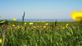 Μικρά κίτρινα λουλούδια το καλοκαίρι σε ένα πράσινο λιβάδι απόθεμα βίντεο