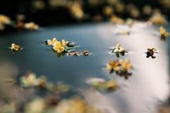 Μικρά κίτρινα λουλούδια Στοκ Εικόνες