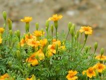 Μικρά κίτρινα λουλούδια στοκ εικόνα