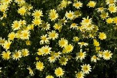 Μικρά κίτρινα λουλούδια Daisy-τύπων Στοκ Εικόνες