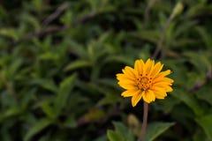 Μικρά κίτρινα oxalis (corymbosa Oxalis) στον κήπο στοκ εικόνες