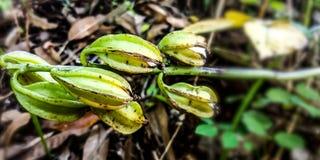 Μικρά και ανώριμα φρούτα αστεριών στοκ φωτογραφίες