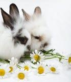 μικρά κουνέλια δύο Στοκ φωτογραφία με δικαίωμα ελεύθερης χρήσης
