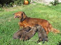 Μικρά κουτάβια ενός dachshund με το θηλυκό στοκ φωτογραφία