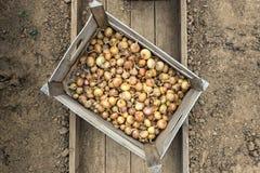 Μικρά κρεμμύδια σπόρου σε ένα κιβώτιο Στοκ Εικόνα