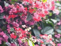 Μικρά κόκκινα και ρόδινα λουλούδια αναρριχητικών φυτών στο πράσινο υπόβαθρο Στοκ Εικόνες