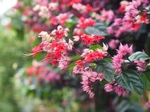 Μικρά κόκκινα και ρόδινα λουλούδια αναρριχητικών φυτών στο πράσινο υπόβαθρο Στοκ εικόνες με δικαίωμα ελεύθερης χρήσης