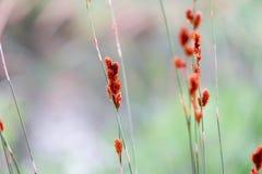 Μικρά κόκκινα λουλούδια χλόης κινηματογραφήσεων σε πρώτο πλάνο Στοκ Εικόνα