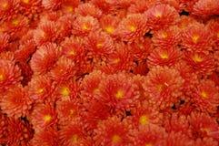 Μικρά κόκκινος-πορτοκαλιά λουλούδια Στοκ φωτογραφία με δικαίωμα ελεύθερης χρήσης