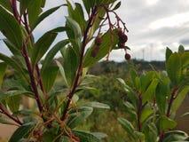 Μικρά λουλούδια δέντρων φραουλών στοκ εικόνες με δικαίωμα ελεύθερης χρήσης