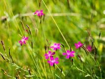 Μικρά λουλούδια λωρίδων μεταξύ των πράσινων χλοών στοκ εικόνα με δικαίωμα ελεύθερης χρήσης