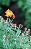 Μικρά λουλούδια μαργαριτών Στοκ εικόνα με δικαίωμα ελεύθερης χρήσης