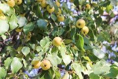 Μικρά μήλα και φύλλωμα Στοκ Εικόνες