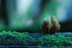 Μικρά μανιτάρια toadstools Στοκ Φωτογραφίες