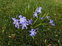 Μικρά μπλε λουλούδια με τα κίτρινα κέντρα στοκ εικόνες