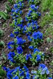 Μικρά μπλε λουλούδια που ανθίζουν την άνοιξη στοκ εικόνα με δικαίωμα ελεύθερης χρήσης