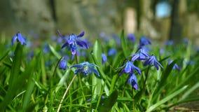 Μικρά μπλε λουλούδια σε μια χλόη απόθεμα βίντεο