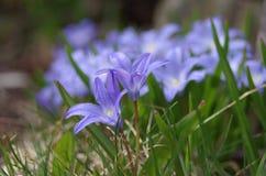 Μικρά μπλε λουλούδια στα gras στοκ εικόνα