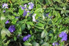 Μικρά μπλε λουλούδια άνοιξη σε ένα πράσινο ξέφωτο Στοκ εικόνες με δικαίωμα ελεύθερης χρήσης