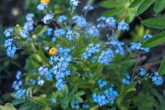 Μικρά μπλε λουλούδια στην πράσινη χλόη Λεπτά θερινά λουλούδια Στοκ Εικόνα