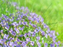 Μικρά μπλε λουλούδια τομέων στο αλπικό λιβάδι φωτός του ήλιου Στοκ φωτογραφία με δικαίωμα ελεύθερης χρήσης