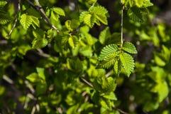 Μικρά νέα πράσινα φύλλα Στοκ φωτογραφίες με δικαίωμα ελεύθερης χρήσης