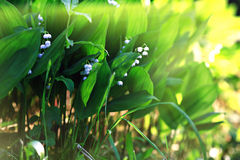 Μικρά λουλούδια άνοιξη σε έναν τομέα Στοκ εικόνες με δικαίωμα ελεύθερης χρήσης